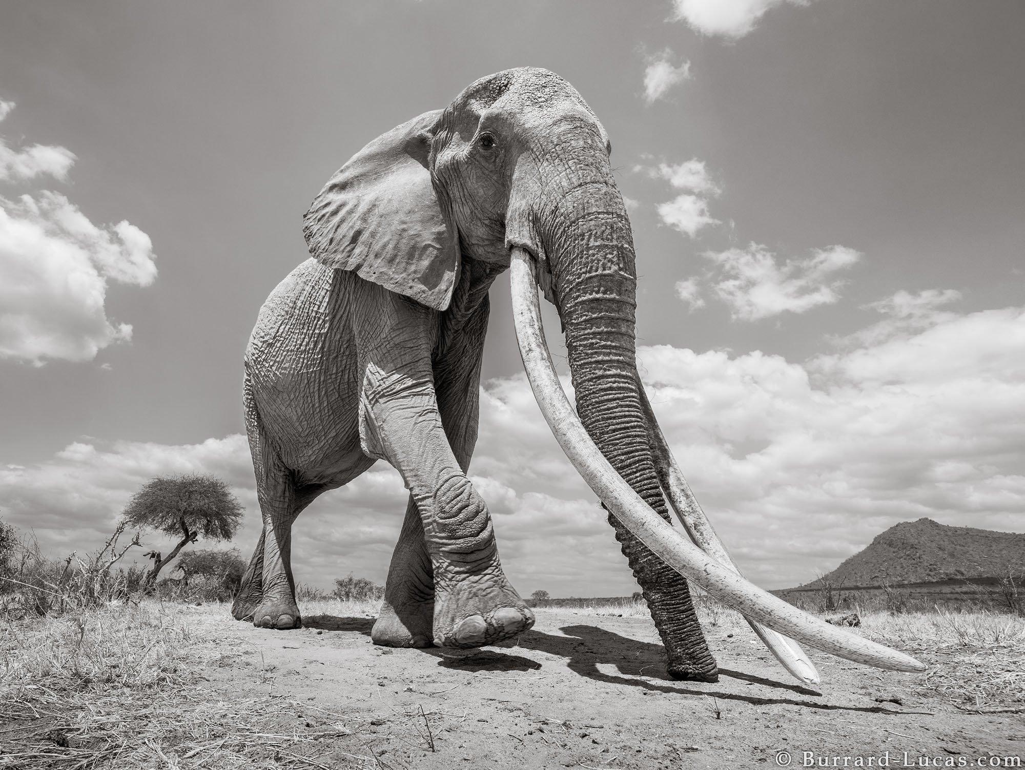Las últimas fotos de la Reina de los Elefantes, una hermosa elefanta de largos colmillos