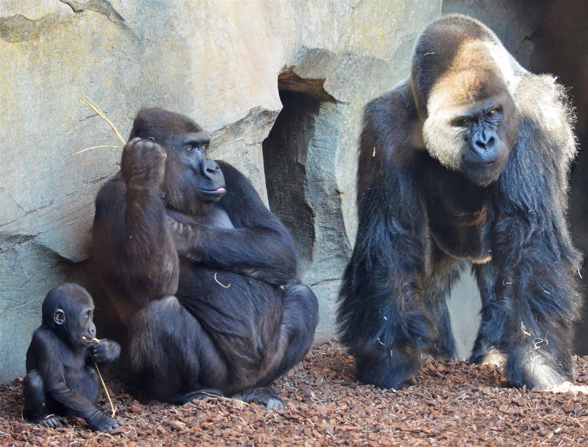 El bebé gorila Pepe y sus padres Mambie y Fossey