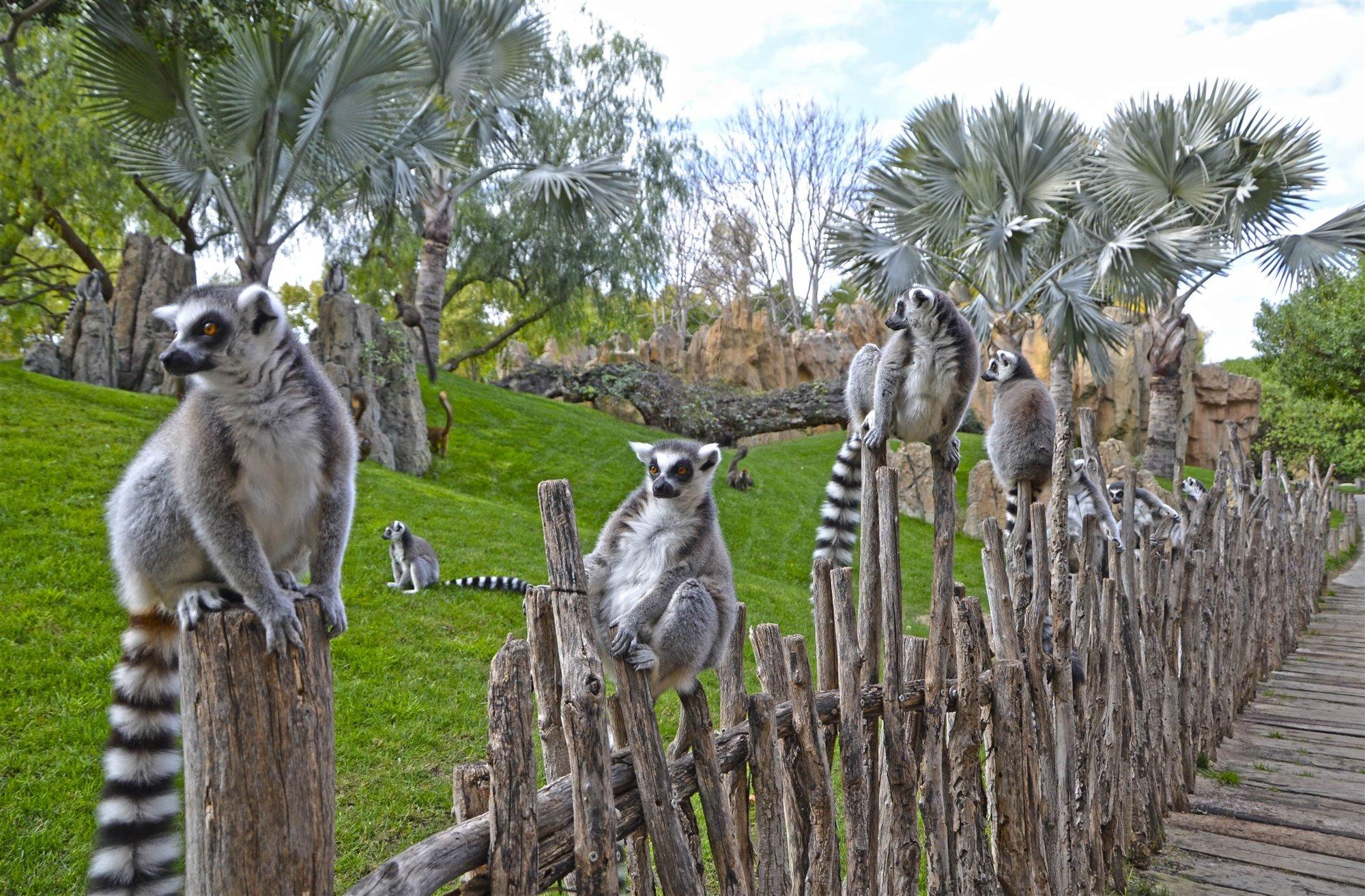 Lémures en la isla de Madagascar