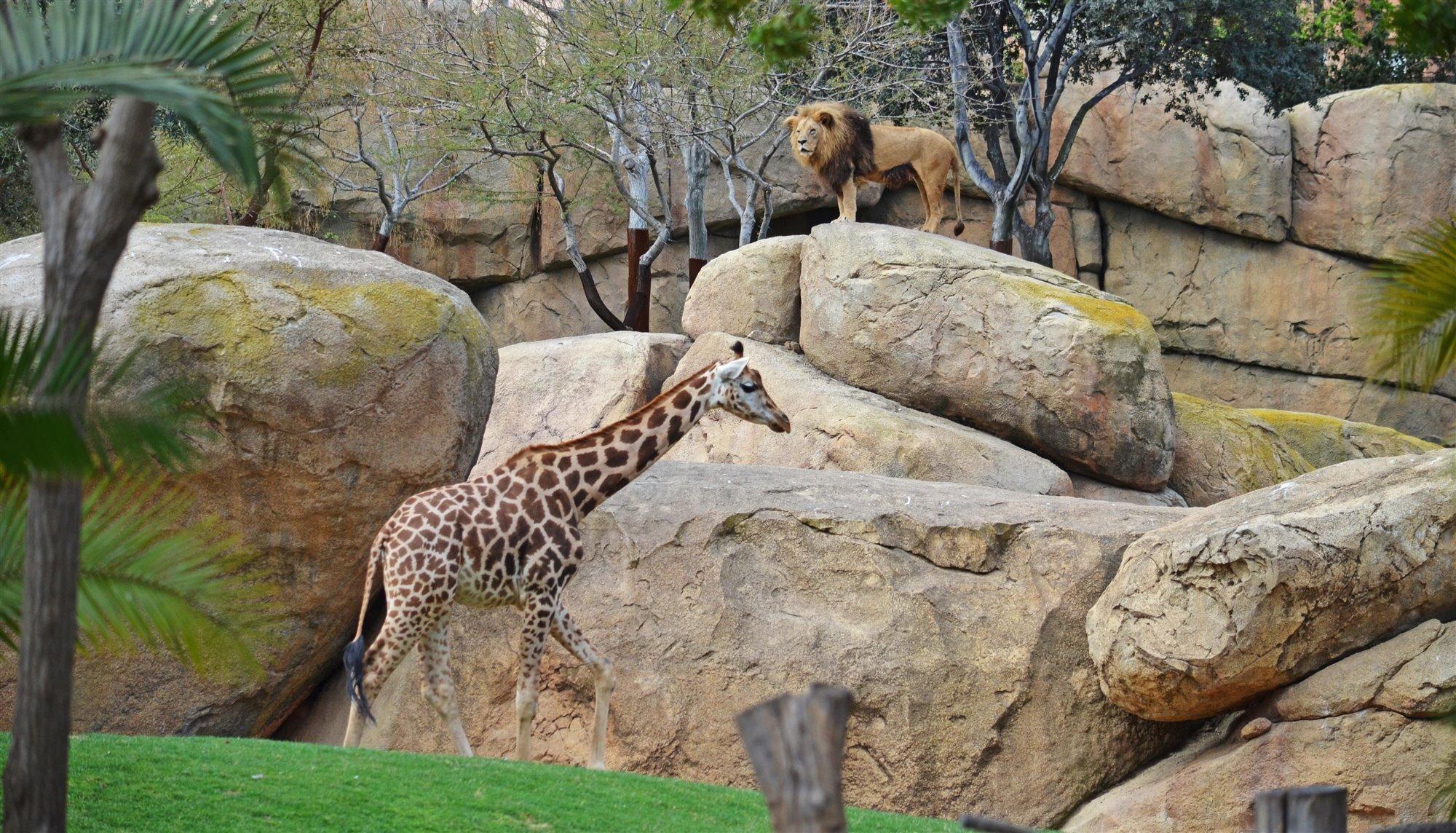 Leones y jirafas de la sabana africana