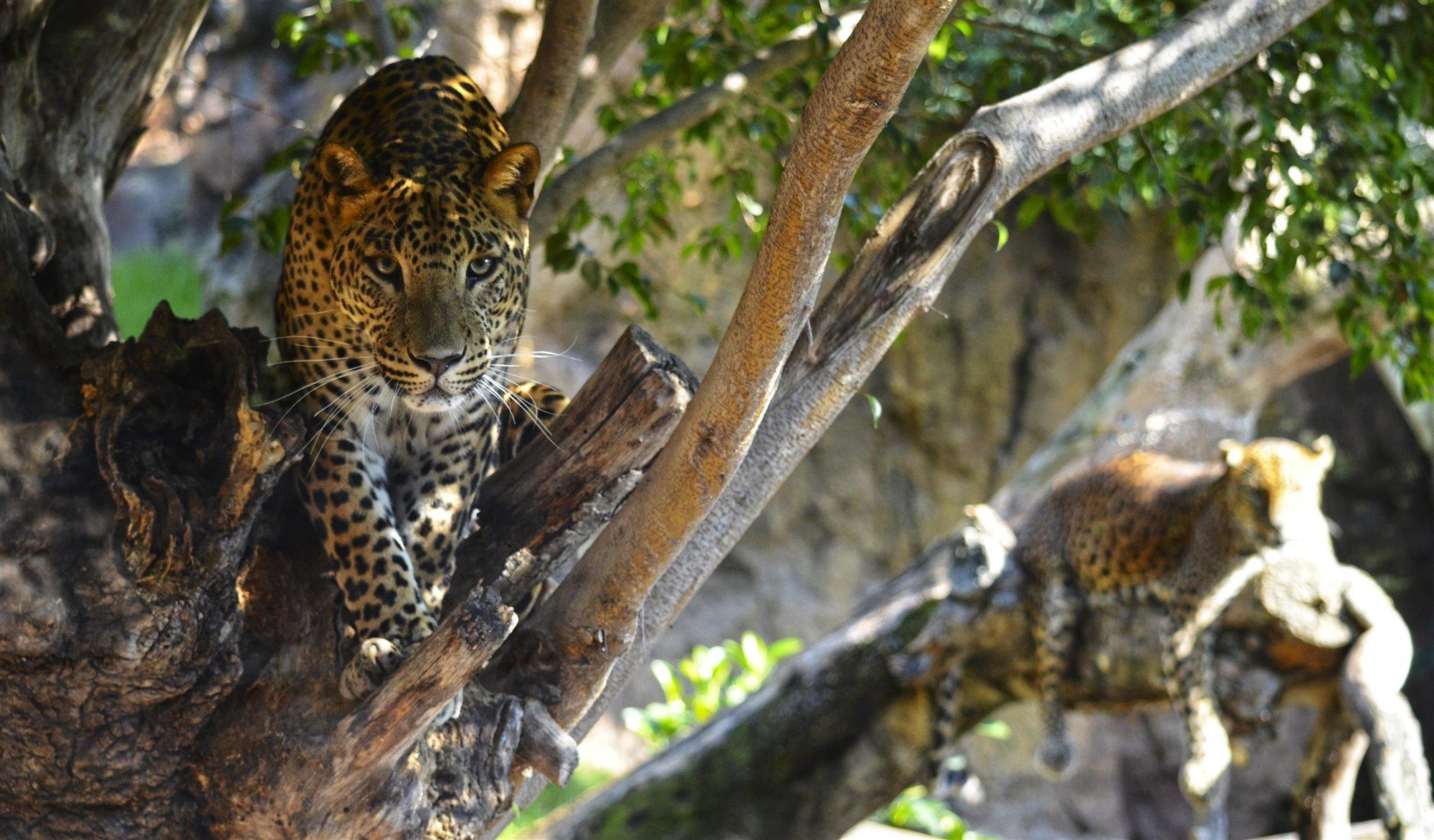 Leopardos de la selva africana