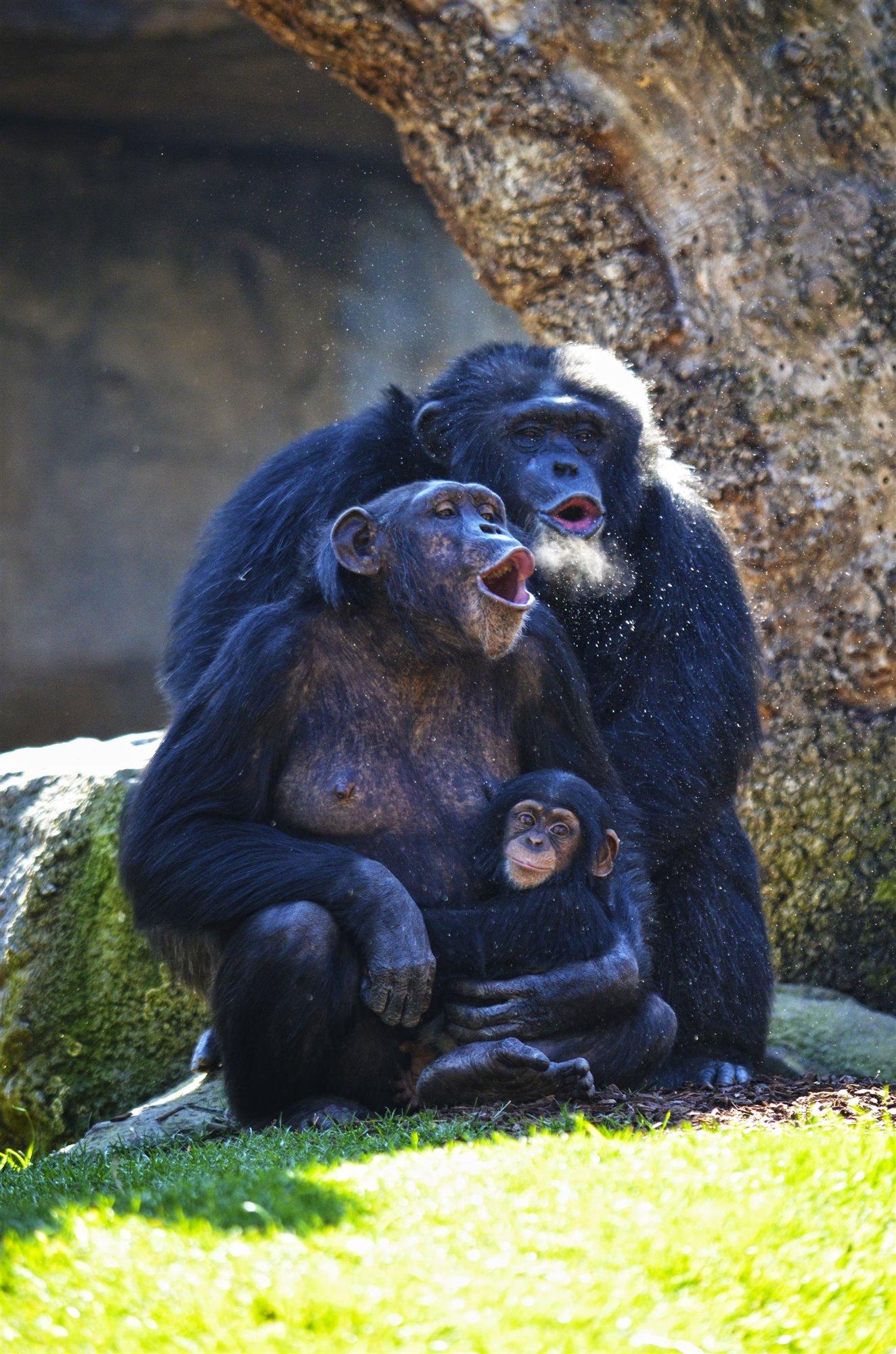 Los chimpancés Moreno, Noelia y Coco