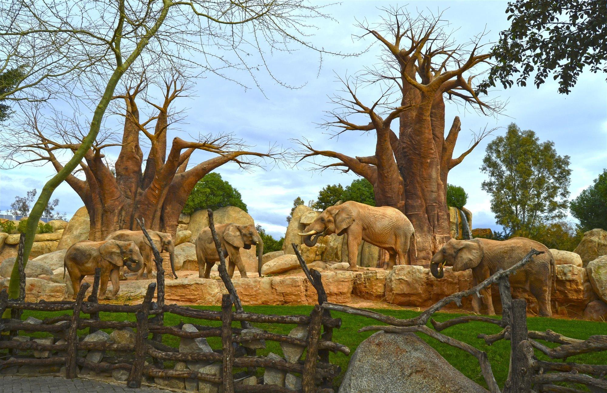Manada de elefantes en el bosque de baobabs