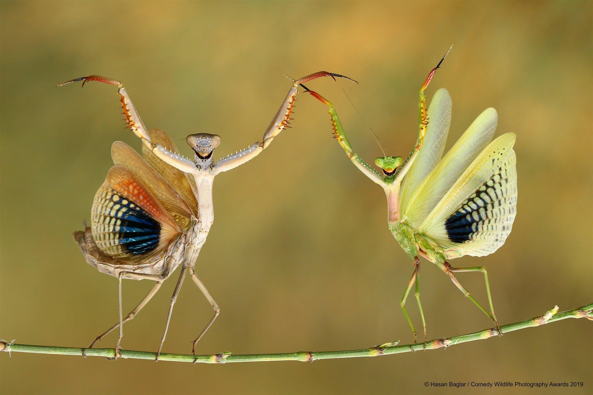 El baile de las mantis