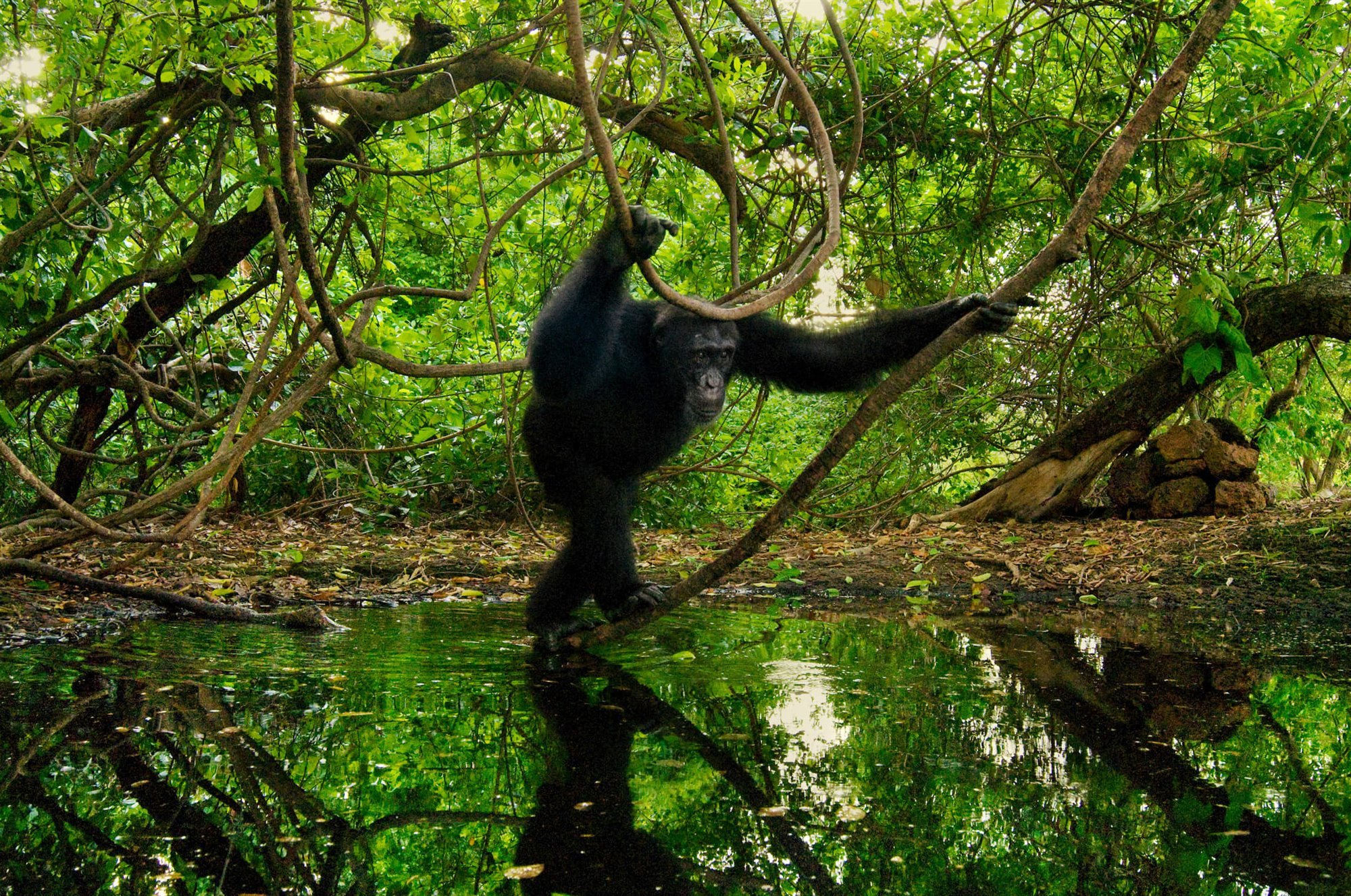 Pan troglodites verus - Chimpancé Occidental
