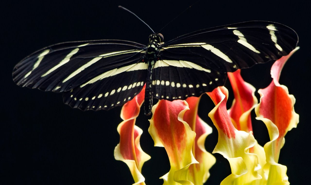 Heliconius charithonia; Gloriosa sp.