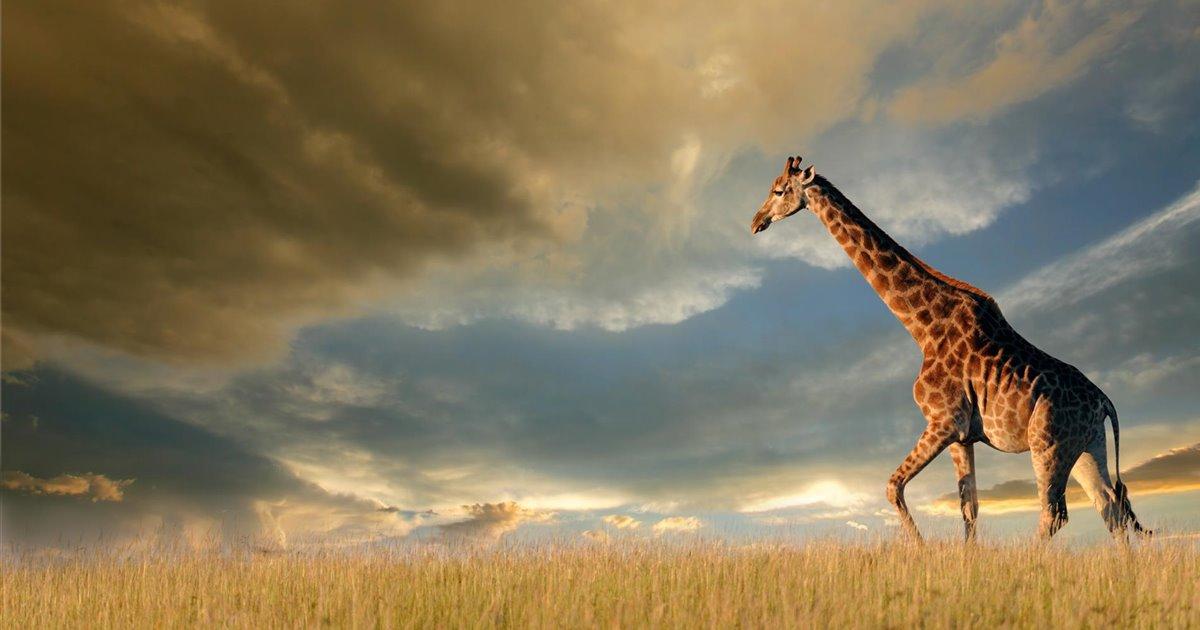 Jirafa-paseando-en-africa_4dca5733_1200x630