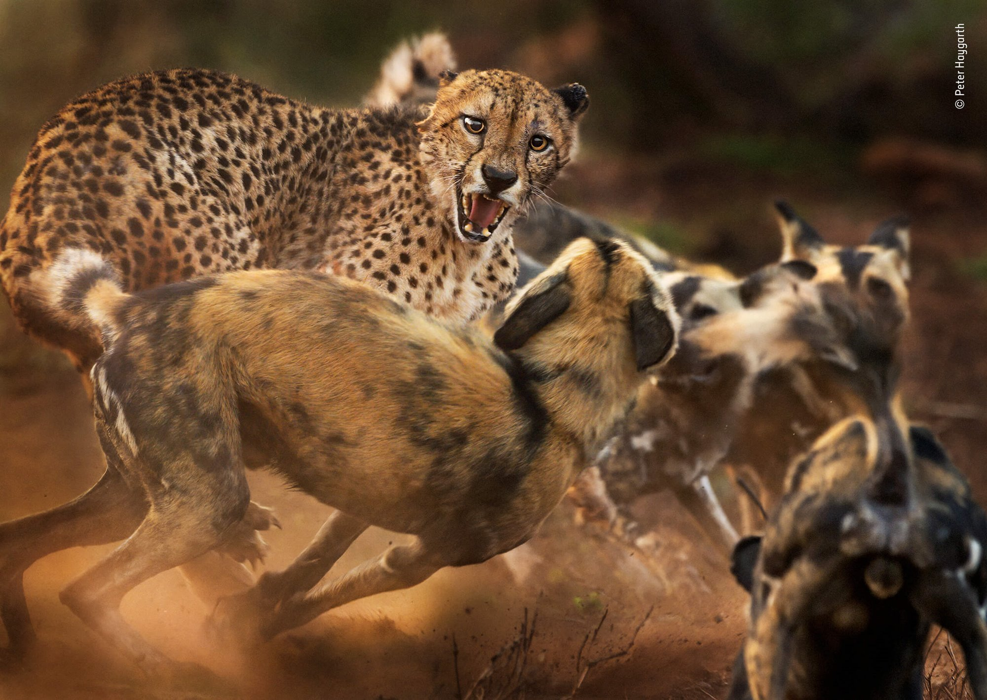 Big Cat and Dog Spat By