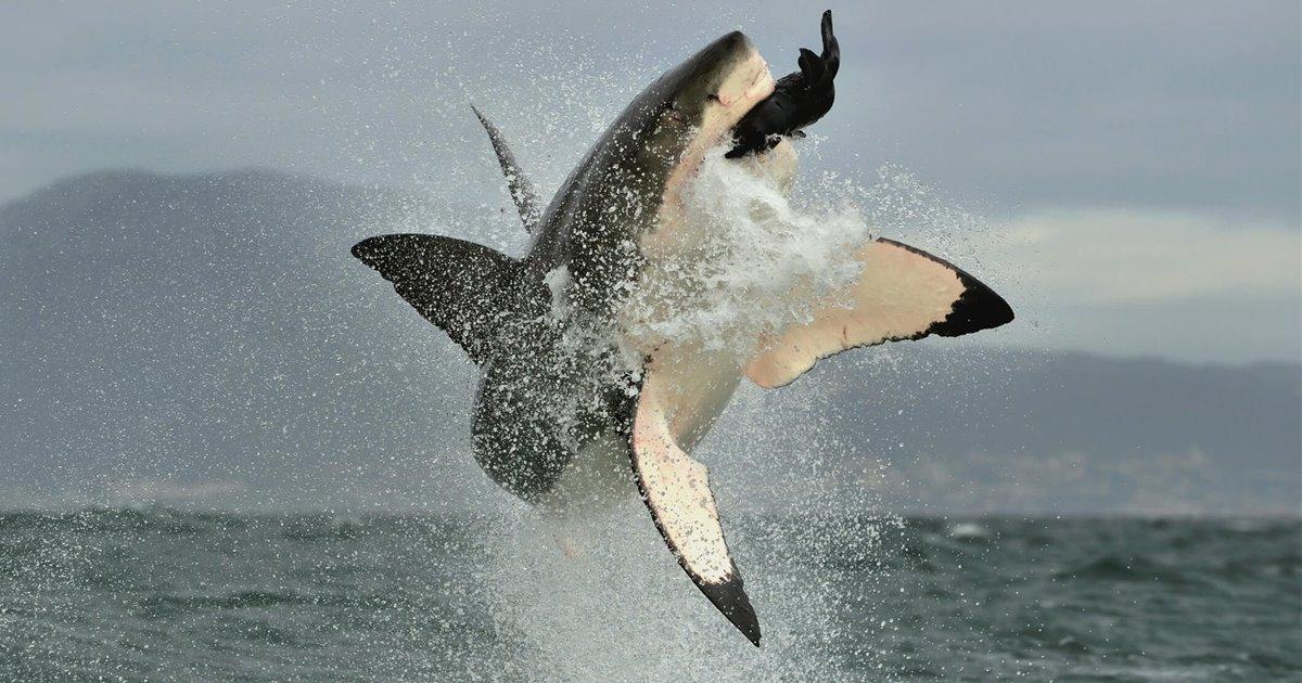 Gran-tiburon-blanco-carcharodon-carcharias_f5c90292_1200x630