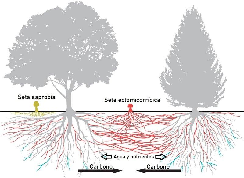 Simbiosis micorrícica entre hongos y árboles del ecosistema forestal.