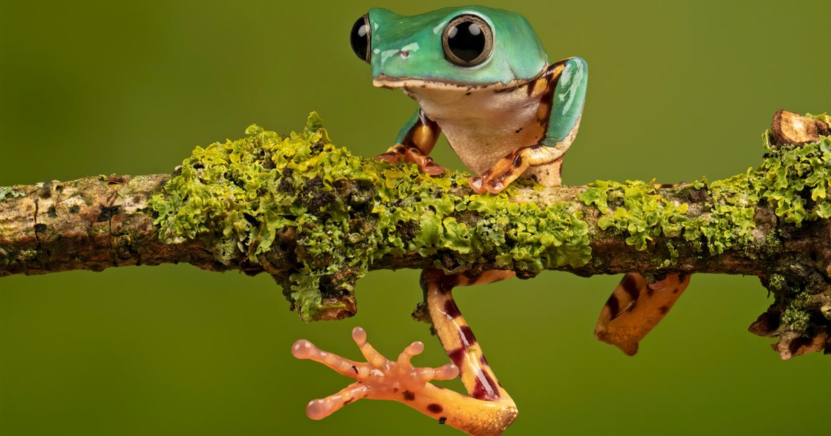 Phyllomedusa-tomopterna-rana-lemur-naranja_940dd16b_1200x630