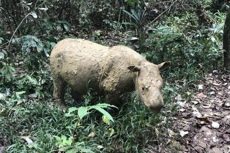 Solo quedan unos 80 individuos de esta especie en estado salvaje, la mayoría de ellos en la isla de Sumatra