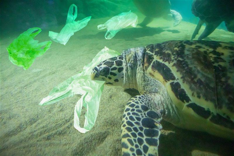 Las tortugas confunden las bolsas con su principal alimento, las medusas, y acaban ingiriéndolas por error.