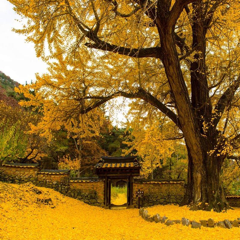 Ginkgo biloba, el árbol que quería ser inmortal