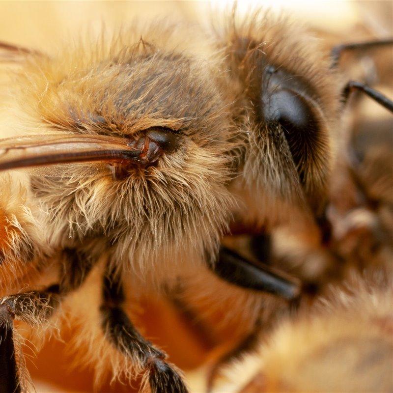 Solución bacteriana al colapso de colonias de abejas
