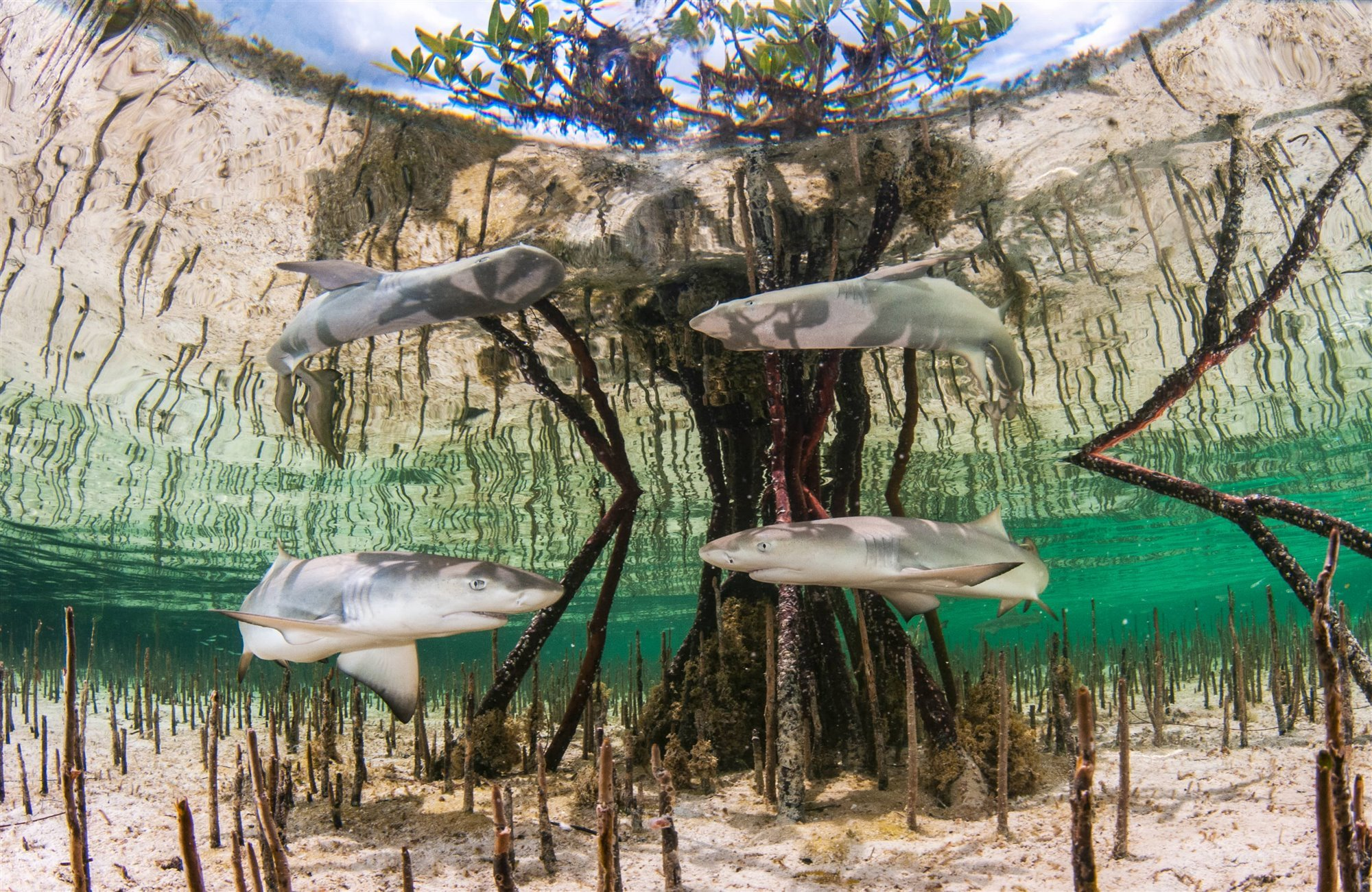 Lemon Shark Nursery