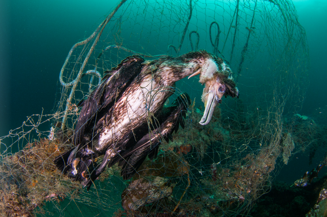 Cormorant caught in a net
