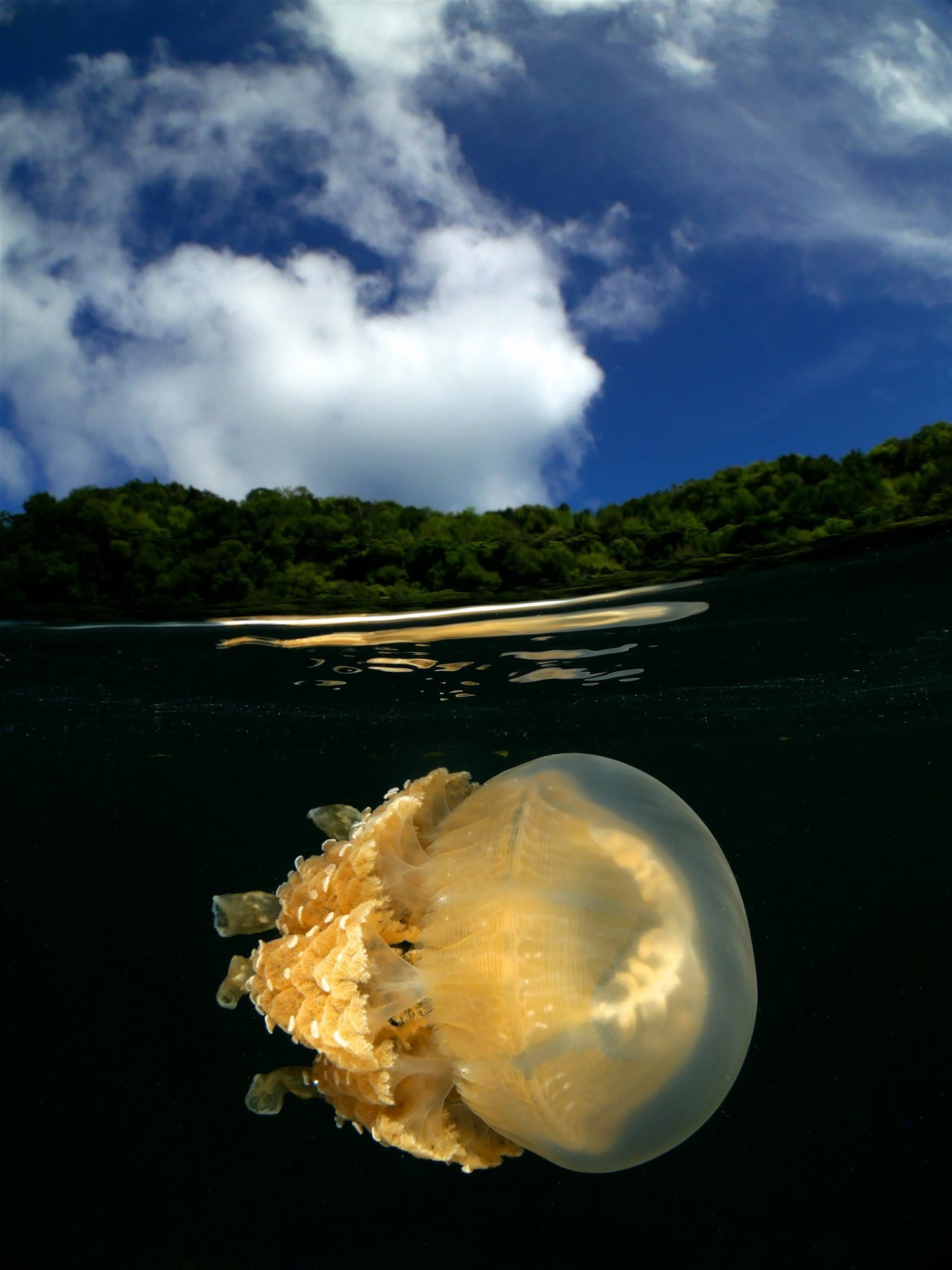 Jellyfish from Palau