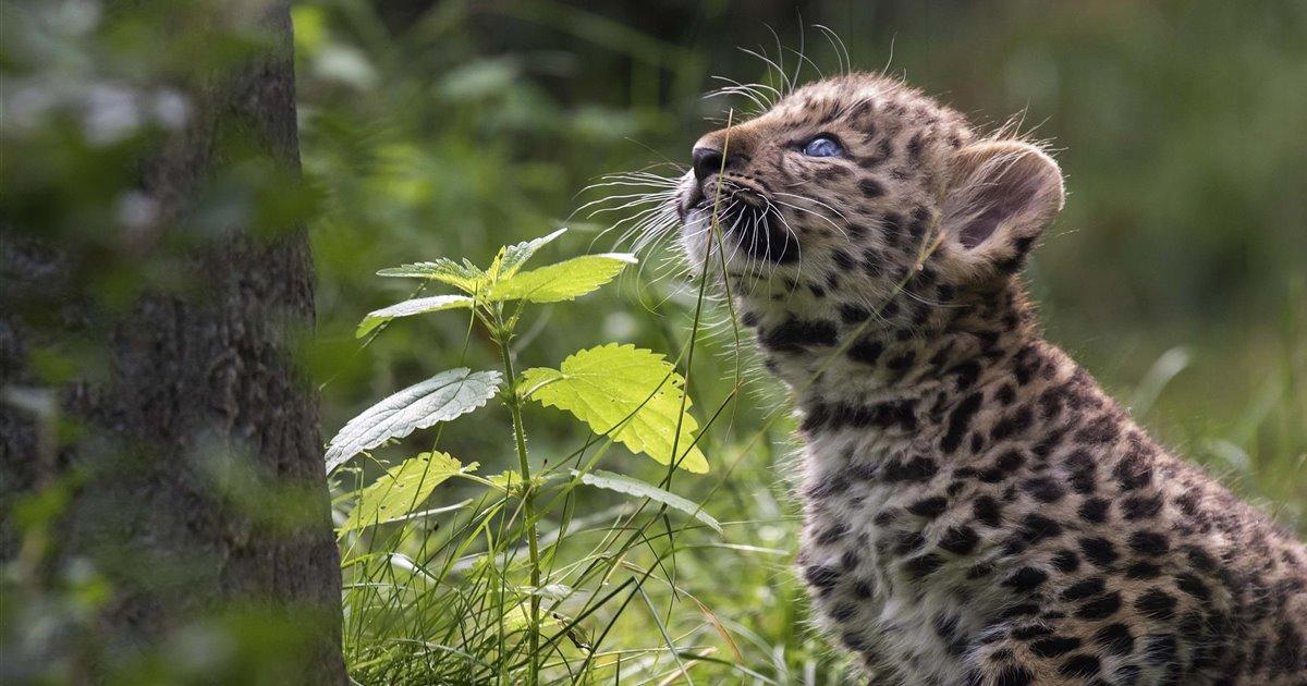 Leopardos4_9faa2763_1200x630