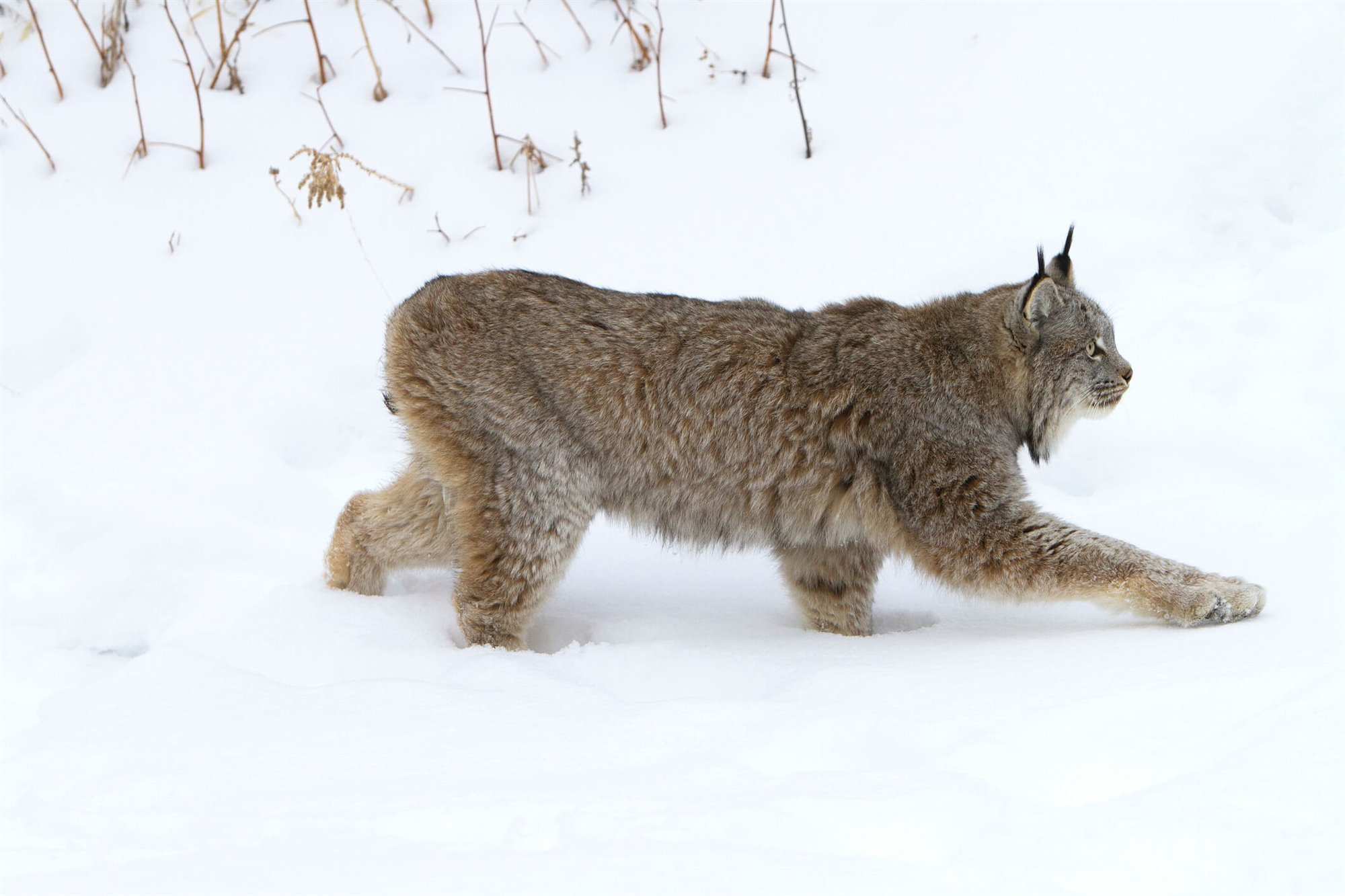 Lynx canadiensis