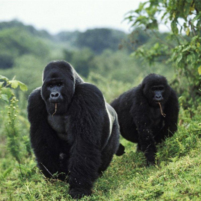 El coronavirus amenaza a los grandes simios