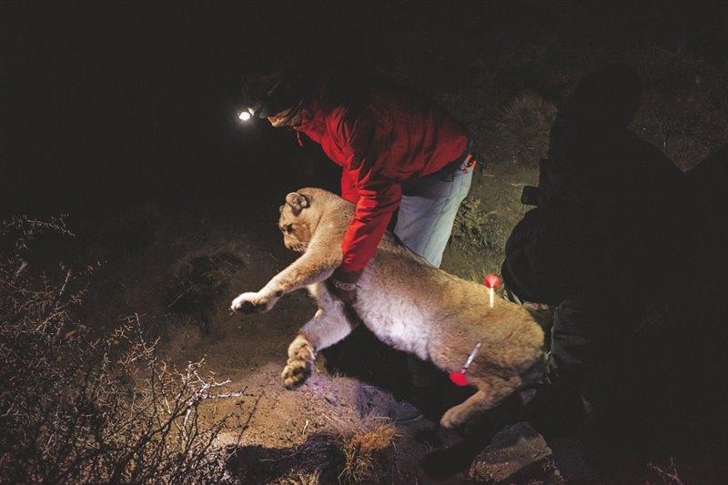 El guarda Emanuel Galetto levanta a una hembra de puma sedada que quedó atrapada en un cepo incruento instalado por los biólogos del Parque Nacional Patagonia de Argentina. Tras ponerle un collar GPS la soltarán, para que se sume a los otros seis pumas con collar que hay en el parque.