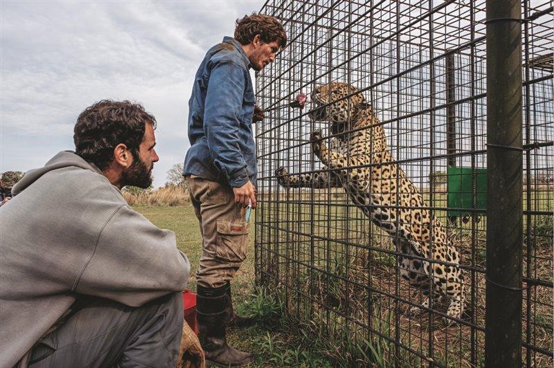 Ante la mirada del voluntario Erik Esposito, el biólogo Pablo Guerra atiende a Nahuel, un macho reproductor de 18 años del Centro de Reintroducción del Jaguar, situado en la isla de San Alonso, que forma parte del Parque Iberá.