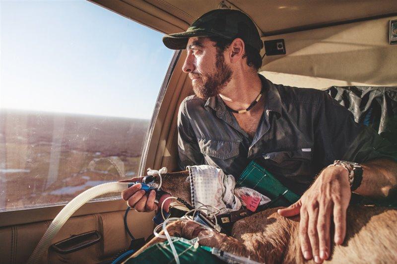 El veterinario Jorge Peña ofrece cuidados críticos y un cálido regazo a un ciervo de la pampa que se dirige a su nuevo hogar del Parque Iberá. El animal, sedado, es uno de los que transportaron en helicóptero desde una zona mermada por el avance de las plantaciones forestales.
