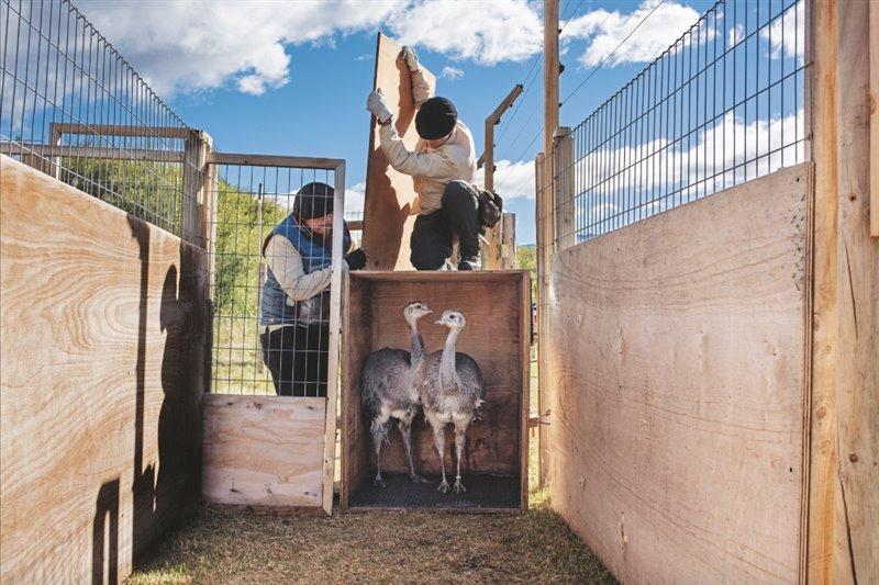Un par de jóvenes ñandúes petisos patagónicos nacidos  en un centro de cría observan el recinto  de aclimatación en el que pasarán de uno a dos meses como paso previo a su suelta en  el Parque Nacional Patagonia de Chile.  El programa de renaturalización tiene previsto liberar cada año entre 10 y 20 de estas aves no voladoras.