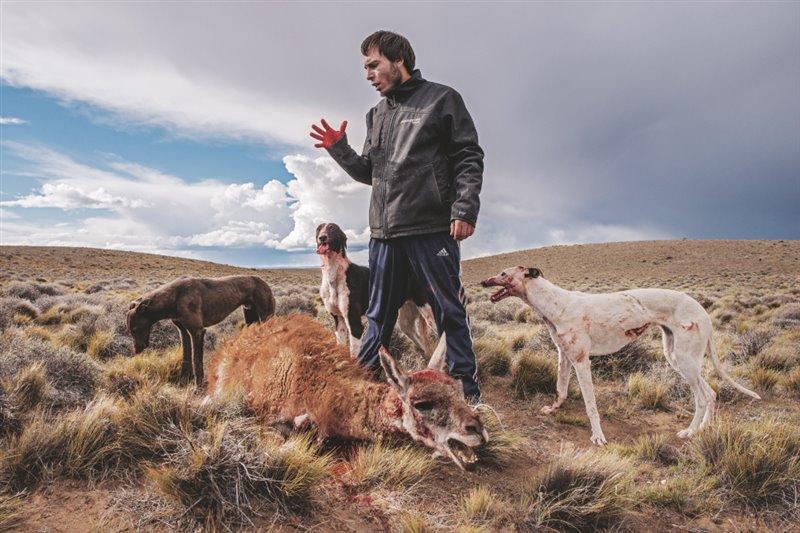 Cerca de su pueblo de la provincia argentina de Santa Cruz, Daniel Reber supervisa un guanaco abatido con el que dará de comer a sus perros. Cazar guanacos sin licencia es una práctica ilegal muy habitual en la provincia. Un parque nacional cercano proporciona 520 kilómetros cuadrados de refugio a la fauna salvaje.