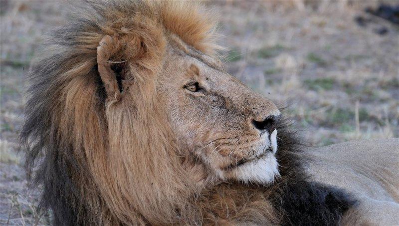 Retrato de un león macho. El color de la melena del león puede ir del marrón claro hasta el negro.