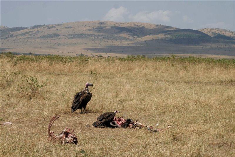Un buitre orejudo y un alimoche sombrío dan cuenta de los últimos los restos de un ñu cazado por los leones dos días antes.