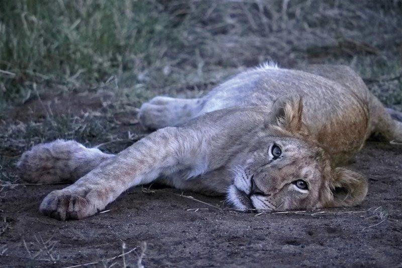Un cachorro de león se despereza con la llegada de la noche.