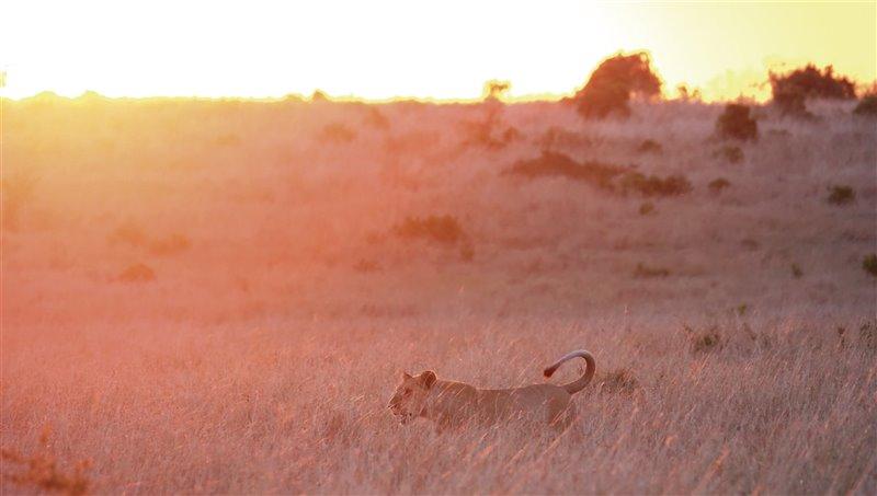 Una leona camina al atardecer con los últimos rayos de sol.