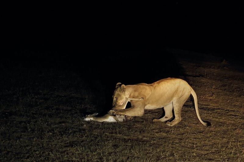 Una leona con una cría de gacela de Thomson que acaba de cazar.