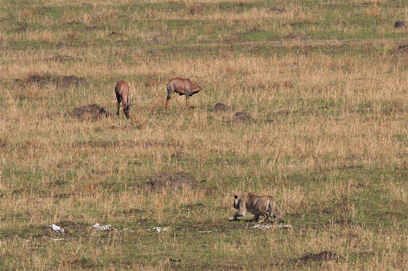 Una leona se acerca sigilosamente para intentar cazar un topi.