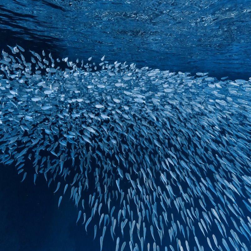 Más de la mitad de las sardinas y los boquerones del Mediterráneo occidental contiene microplásticos