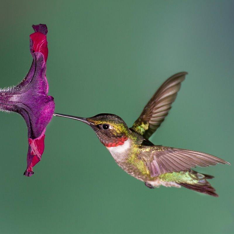 Un colibrí gorjirrubí