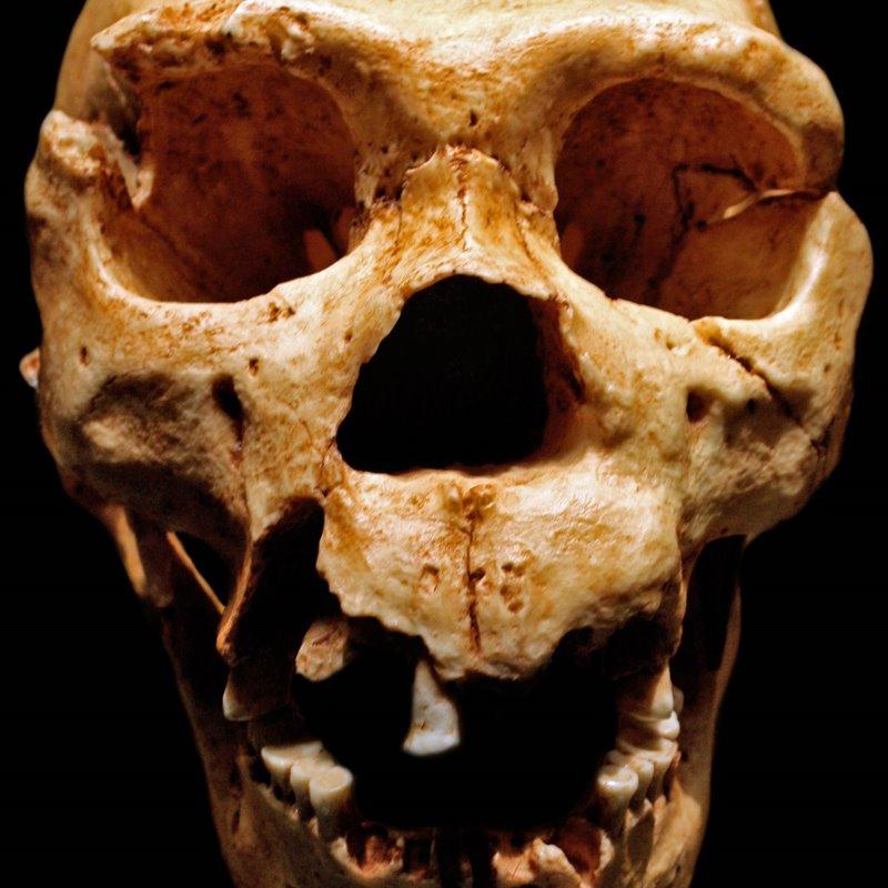 Homo heidelbergensis, cráneo de Atapuerca 5, datado hace unos 500,000-400,000 años.