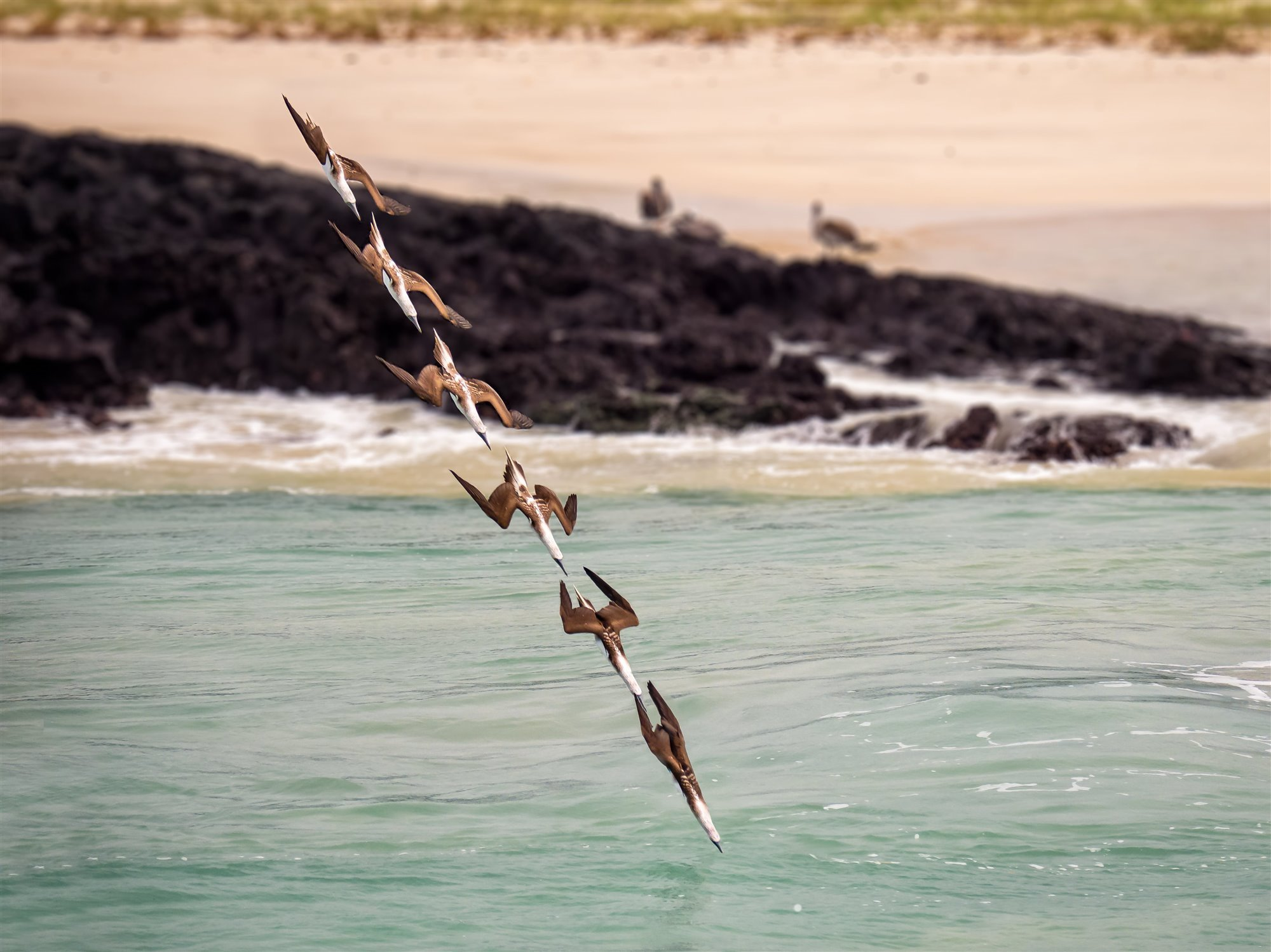 Blue-footed Boobies diving