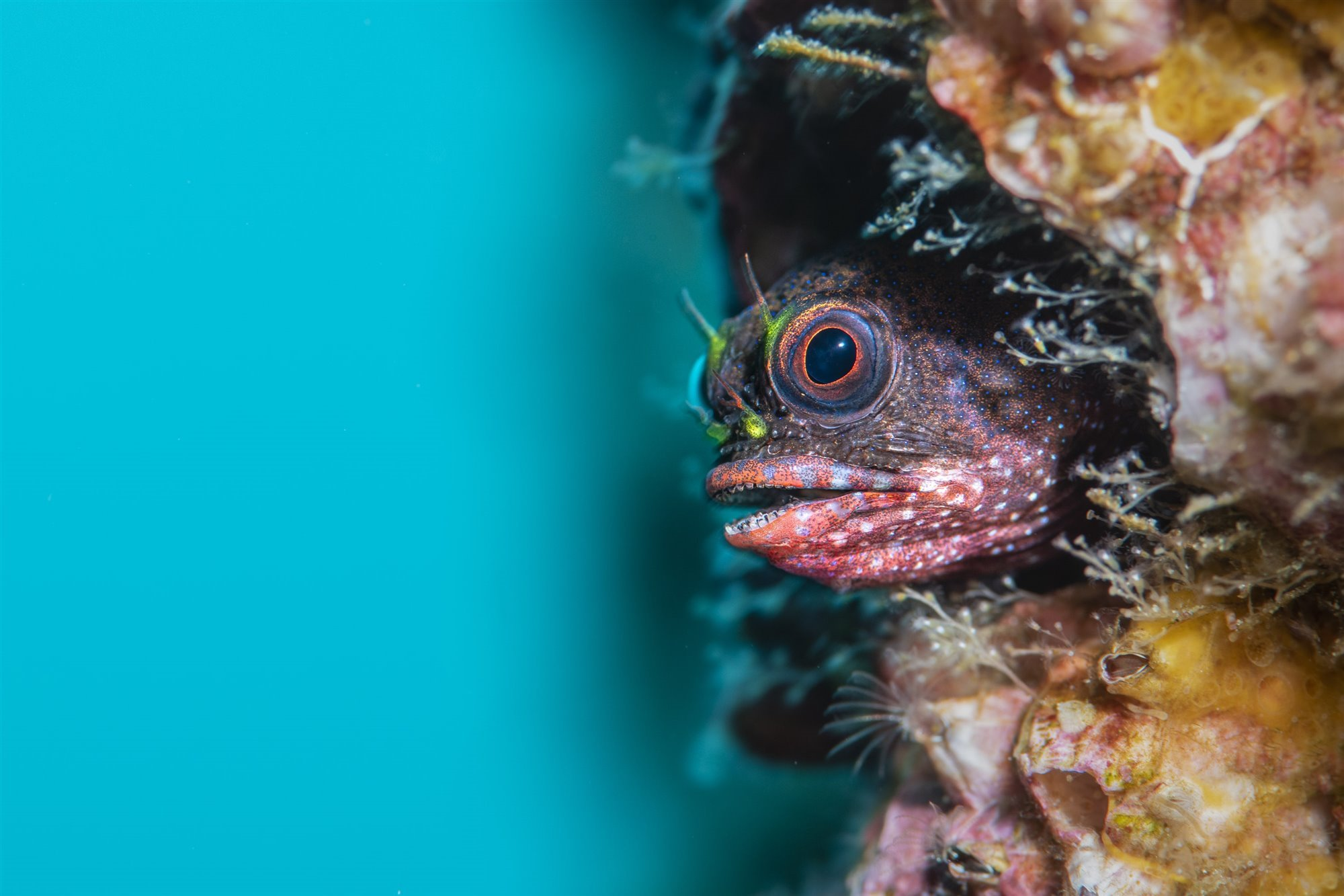 Galapagos Barnacle Blenny