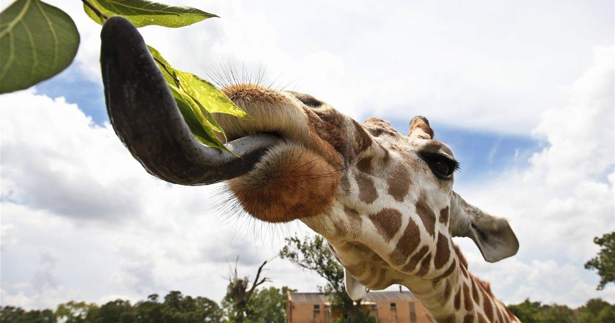 Giraffa-camelopardalis_79c52a65_1200x630