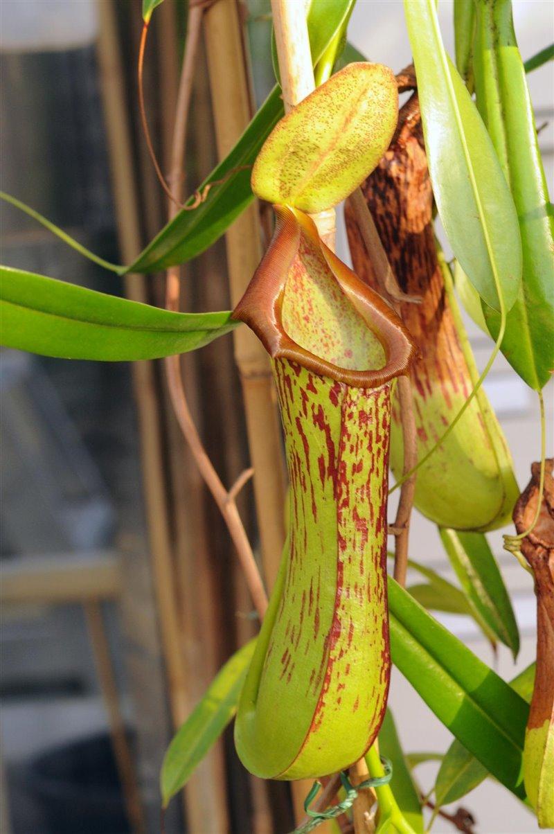 Jarra tropical - Nepentes biak