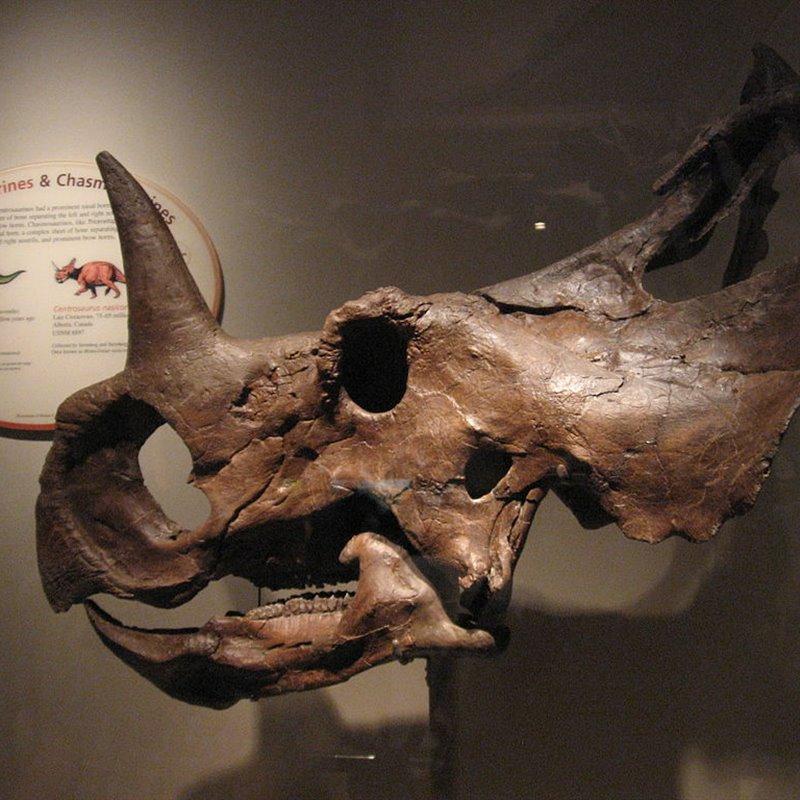 Cráneo completo de un Centrosaurus apertus.
