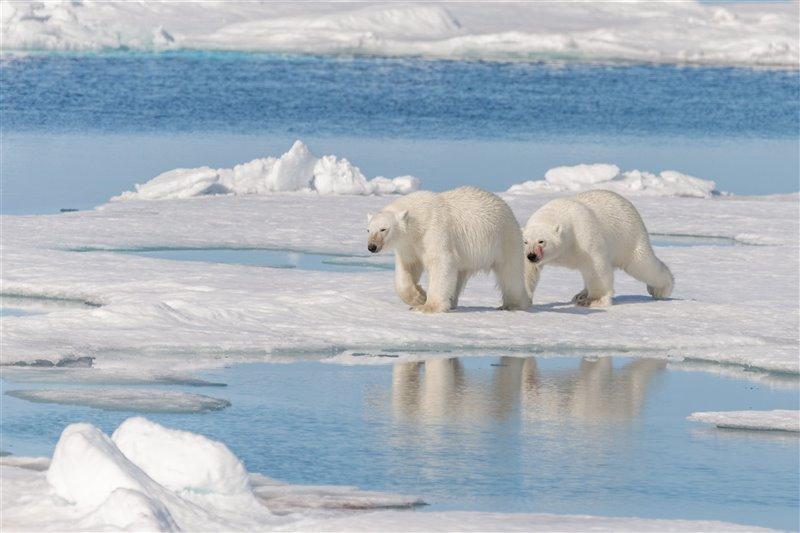Dos osos polares pasean por la isla de Spitsbergen, en Svalbard.