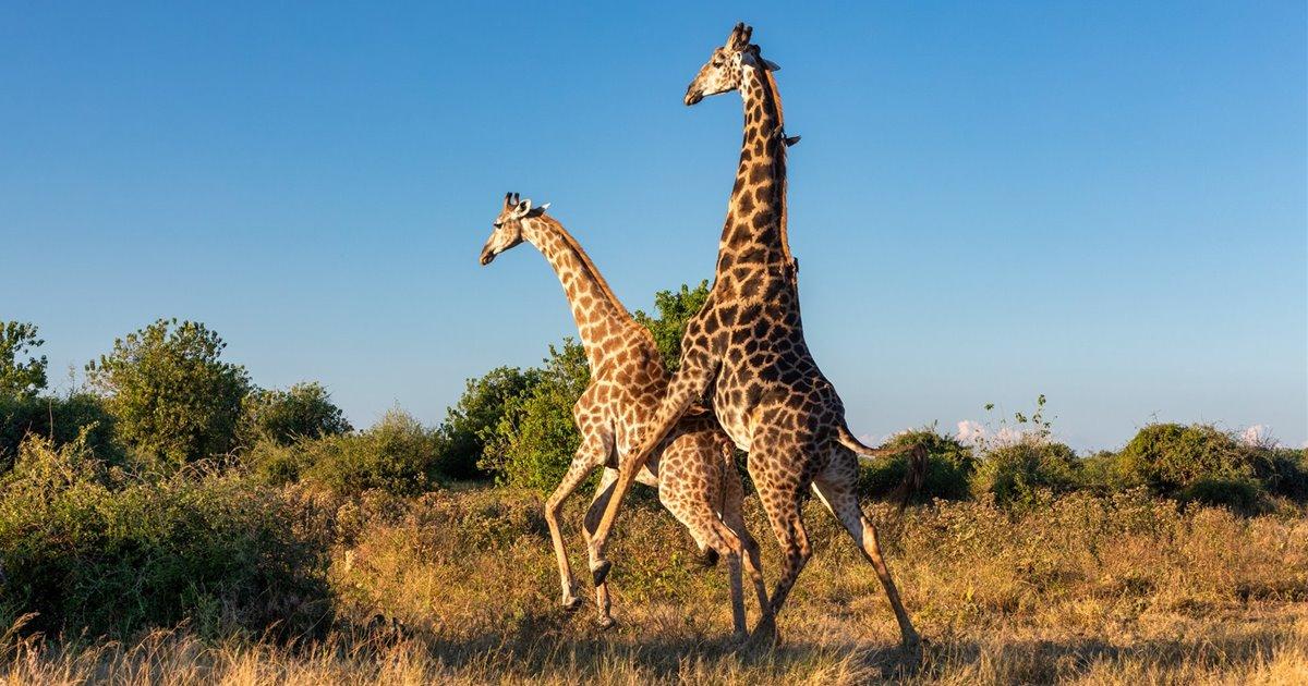 Un-par-de-jirafas-se-aparean-fervientemente-en-sudafrica_acbfba1c_1200x630