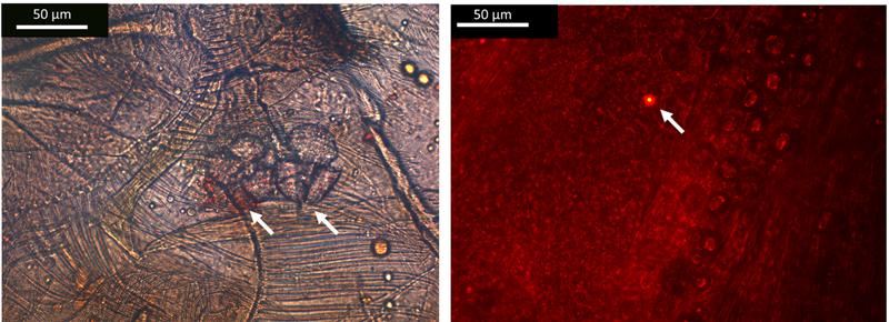 Dos microplásticos (izquierda) y nanoplásticos (derecha) encontrados en los tractos digestivos de los anfípodos.