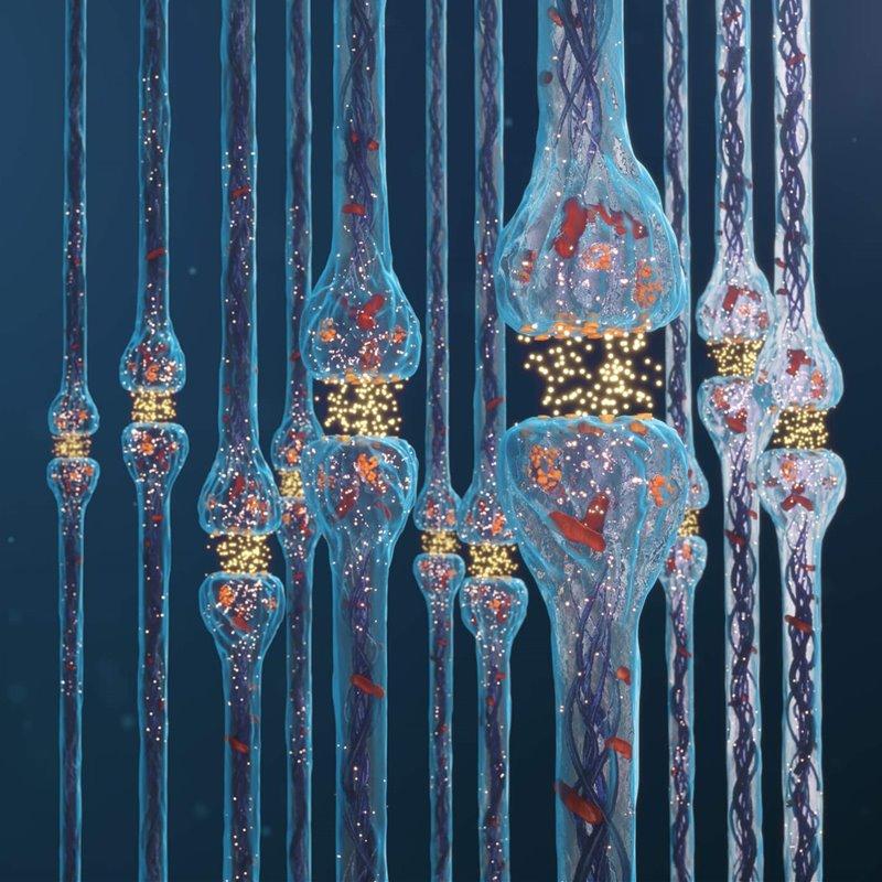 Sinapsis. Transmisión del impulso nervioso entre neuronas