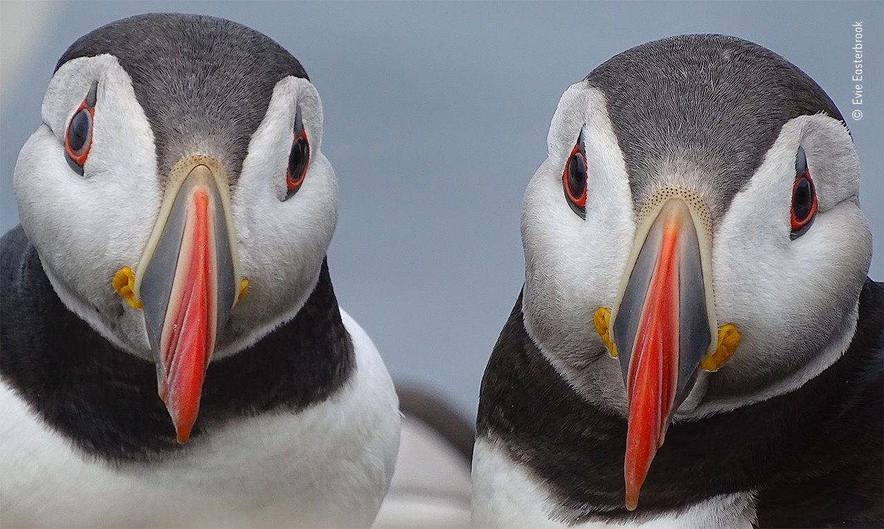 Paired-up puffins
