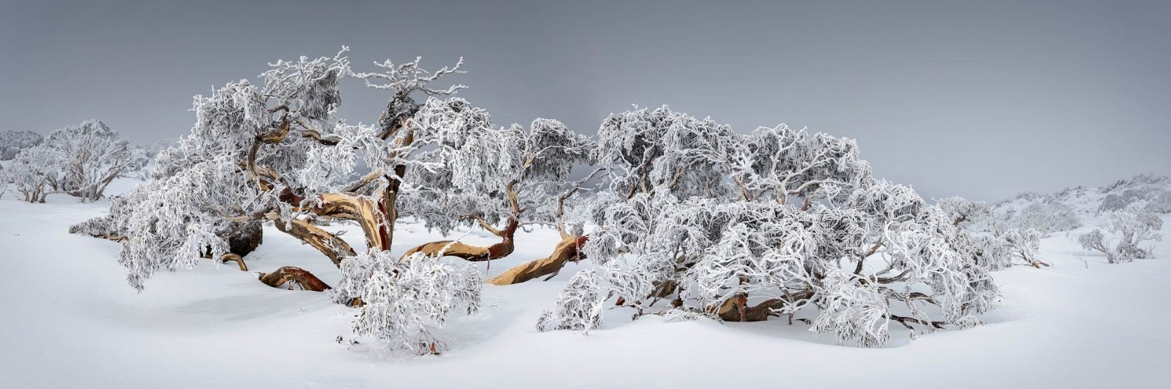 Twisted Snow Gum